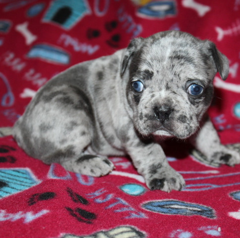 French-Bulldog-puppy-Max (22).JPG