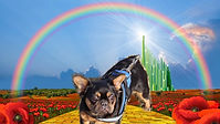 The-Wizard-of-Oz-Toto-frenchie-2021.jpg