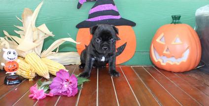 fluffy french bulldog puppy for sale in kansas Shadow A (46).JPG