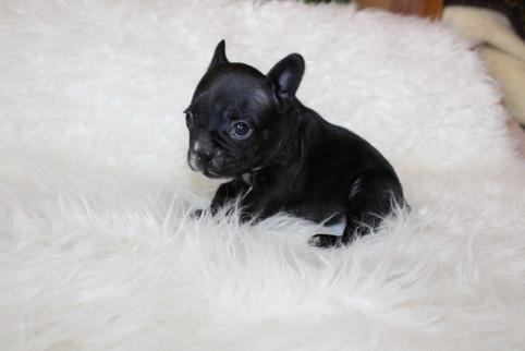 french bulldog puppy for sale near me kansas city Bella (18).JPG