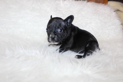 french bulldog puppy for sale near me kansas city Bella (15).JPG