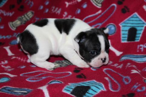 French-Bulldog-puppy-Dax (7).JPG
