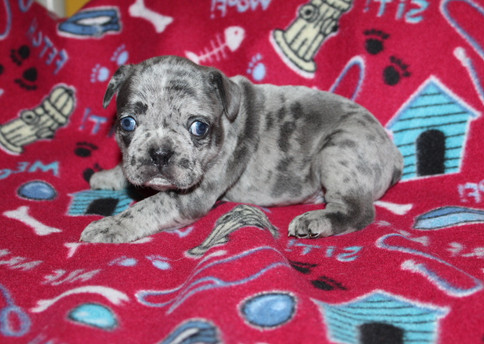 French-Bulldog-puppy-Max (16).JPG