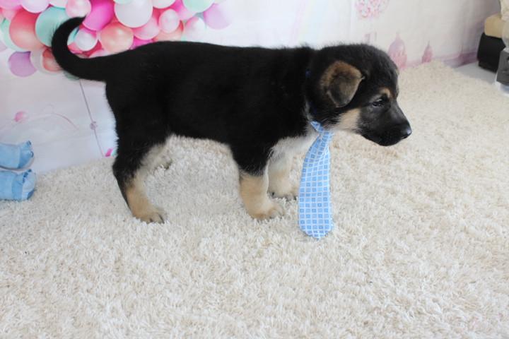 German Shepherd Puppy For Sale kansas