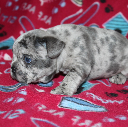 French-Bulldog-puppy-Max (7).JPG