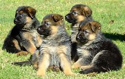 Gaugers-Little-Bullies-German-Shepherd-P