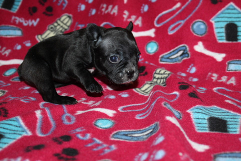 French-Bulldog-puppy-Bella (15).JPG