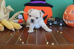 fluffy french bulldog puppy for sale in kansas Cooper A (11).JPG