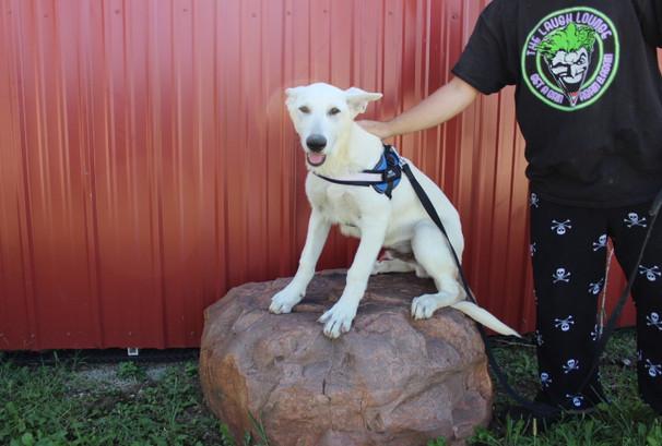 German Shepherd Puppy For Sale Near kansas city Loki (23).JPG