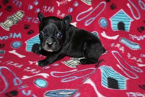 French-Bulldog-puppy-Bella (12).JPG