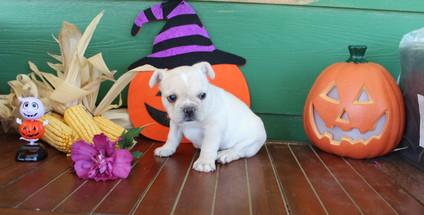 fluffy french bulldog puppy for sale in kansas Lula A (34).JPG