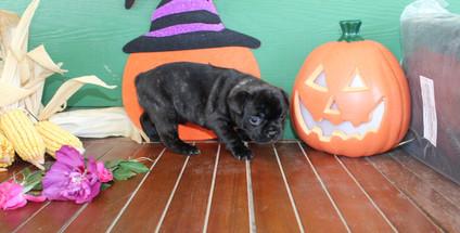 fluffy french bulldog puppy for sale in kansas Shadow A (10).JPG