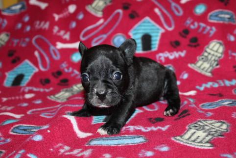 French-Bulldog-puppy-Bella (25).JPG