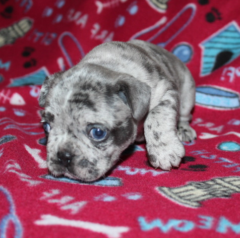 French-Bulldog-puppy-Max (6).JPG