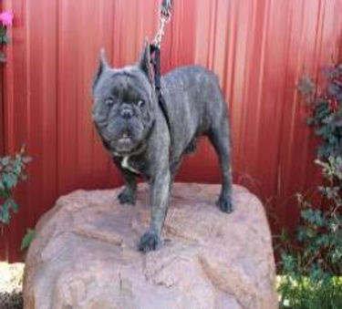 Gaugers Little Bullies French Bulldog St
