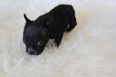 french bulldog puppy for sale near me kansas city Bella (6).JPG