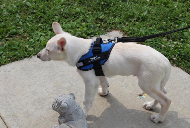 German Shepherd Puppy For Sale Near kansas city Jax (2).JPG