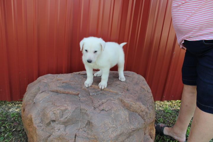 German_Shepherd_Puppy_For_Sale_by_kansas