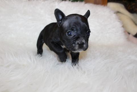 french bulldog puppy for sale near me kansas city Bella (27).JPG