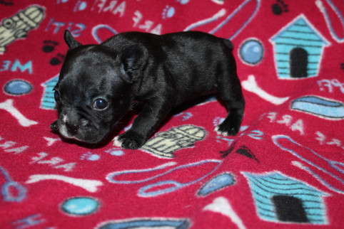 French-Bulldog-puppy-Bella (9).JPG