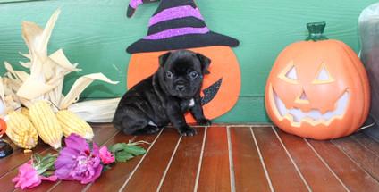 fluffy french bulldog puppy for sale in kansas Shadow A (27).JPG
