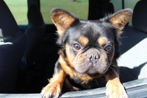 French-bulldog-fluffy-Toto-kansas (20).JPG