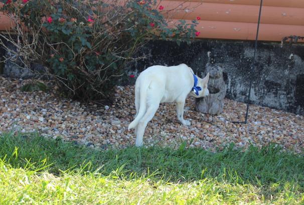 German Shepherd Puppy For Sale Near kansas city Loki (84).JPG