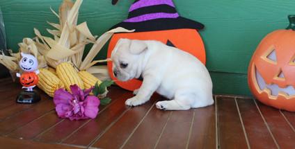 fluffy french bulldog puppy for sale in kansas Lula A (20).JPG
