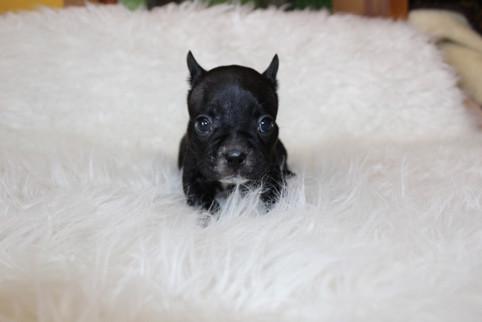 french bulldog puppy for sale near me kansas city Bella (11).JPG