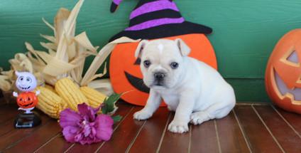 fluffy french bulldog puppy for sale in kansas Lula A (26).JPG