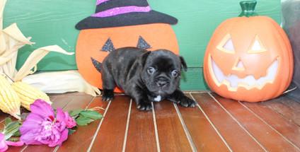 fluffy french bulldog puppy for sale in kansas Shadow A (15).JPG