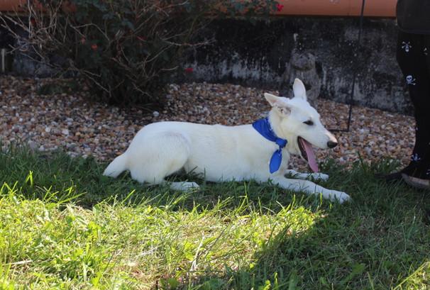 German Shepherd Puppy For Sale Near kansas city Loki (70).JPG