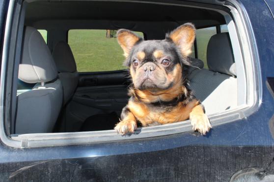 French-bulldog-fluffy-Toto-kansas (21).JPG