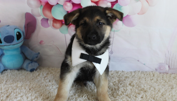 German Shepherd Puppy For Sale kansas ci