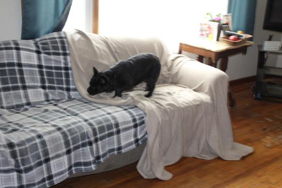 French Bulldog Wooley Bully Fluffy Gauge