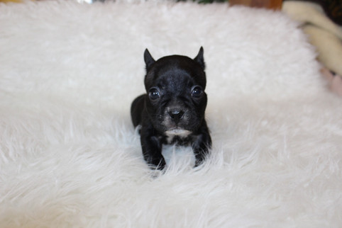 french bulldog puppy for sale near me kansas city Bella (12).JPG