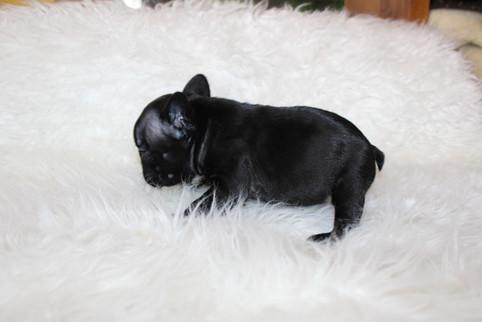 french bulldog puppy for sale near me kansas city Bella (13).JPG