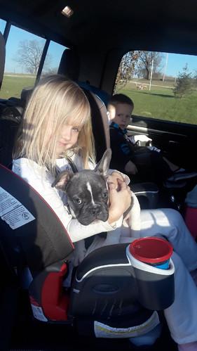 french_bulldog_puppy_for_sale_kansas_cit