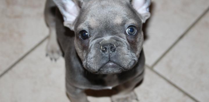 french bulldog puppy for sale near me ka