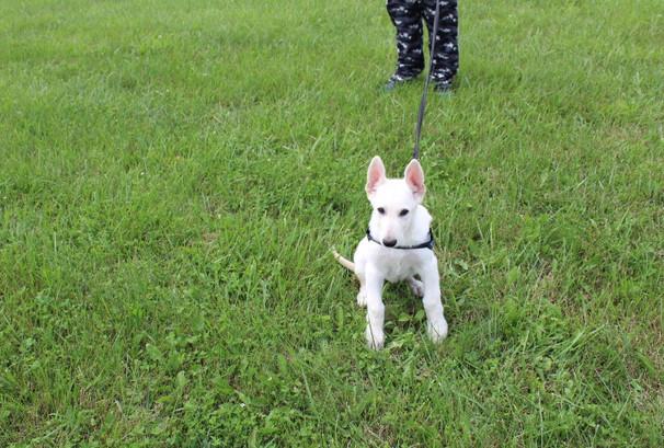 German Shepherd Puppy For Sale Near kansas city Jax (6).JPG