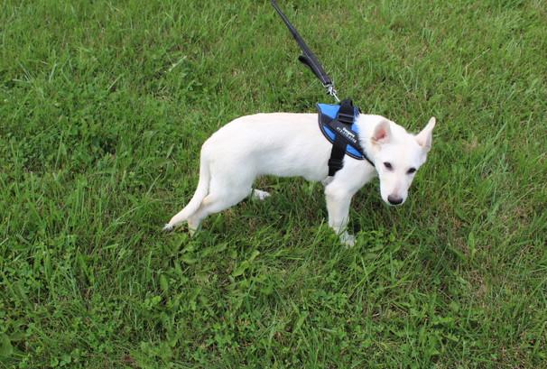 German Shepherd Puppy For Sale Near kansas city Jax (3).JPG