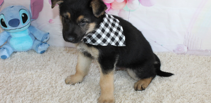 German Shepherd Puppy For Sale kansas