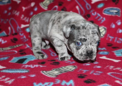 French-Bulldog-puppy-Max (12).JPG