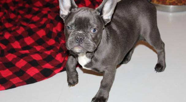HammerTime-Blue-Gauger-french-bulldog-me