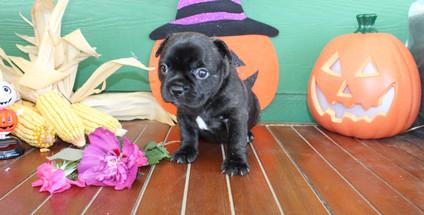 fluffy french bulldog puppy for sale in kansas Shadow A (37).JPG