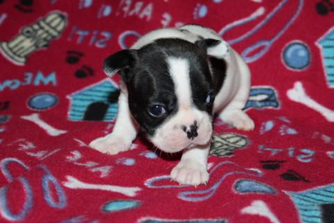 French-Bulldog-puppy-Dax (13).JPG