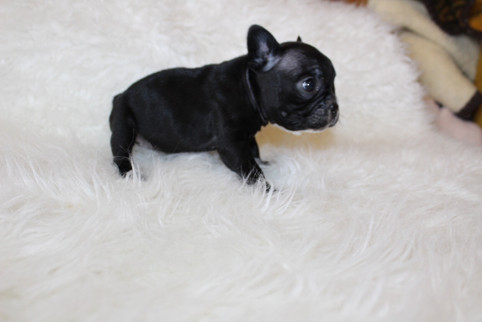french bulldog puppy for sale near me kansas city Bella (22).JPG