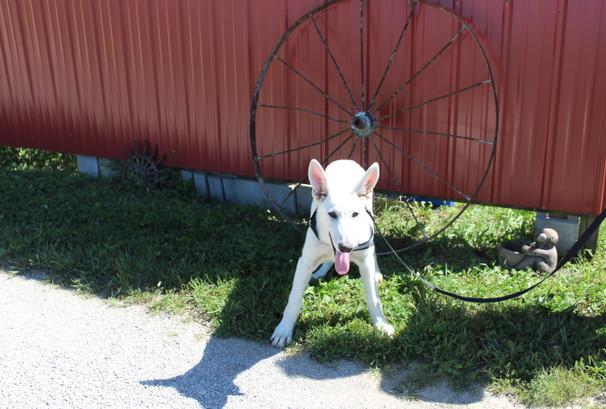 German Shepherd Puppy For Sale Near kansas city Loki (10).JPG