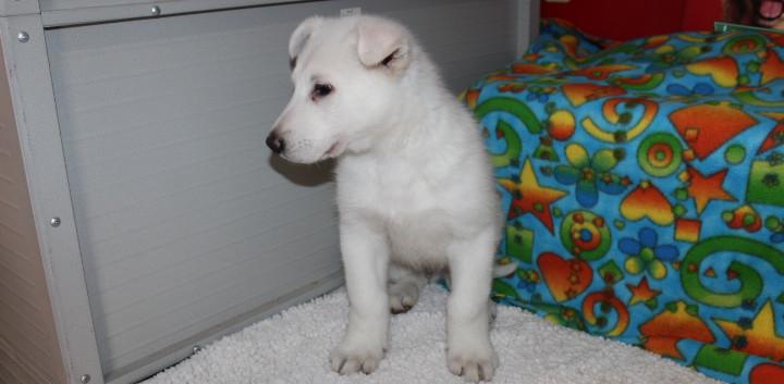 German Shepherd Puppy For Sale King