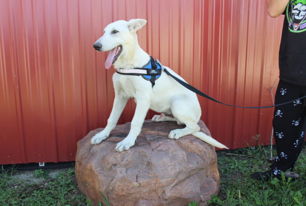 German Shepherd Puppy For Sale Near kansas city Loki (18).JPG